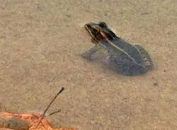 Frog in Wall Lake Apr 7