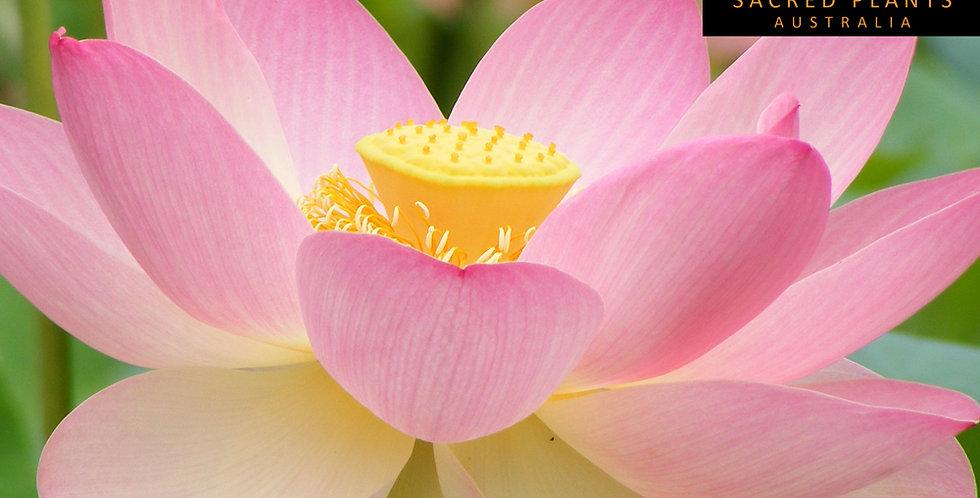 Sacred Lotus 5 Seeds | Nelumbo nucifera