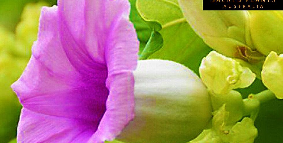 Hawaiian Baby Woodrose 5 Seeds | Argyreia nervosa