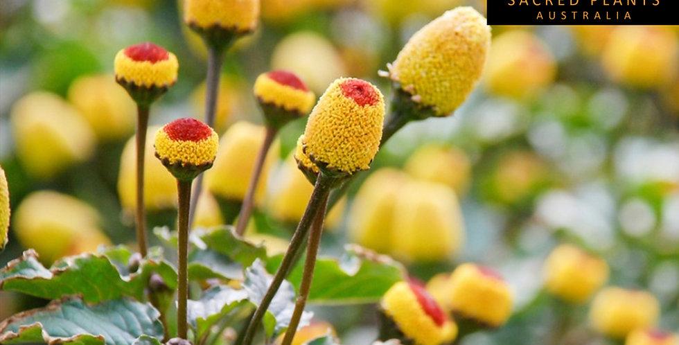 Toothache Plant 100 Seeds   Acmella oleracea