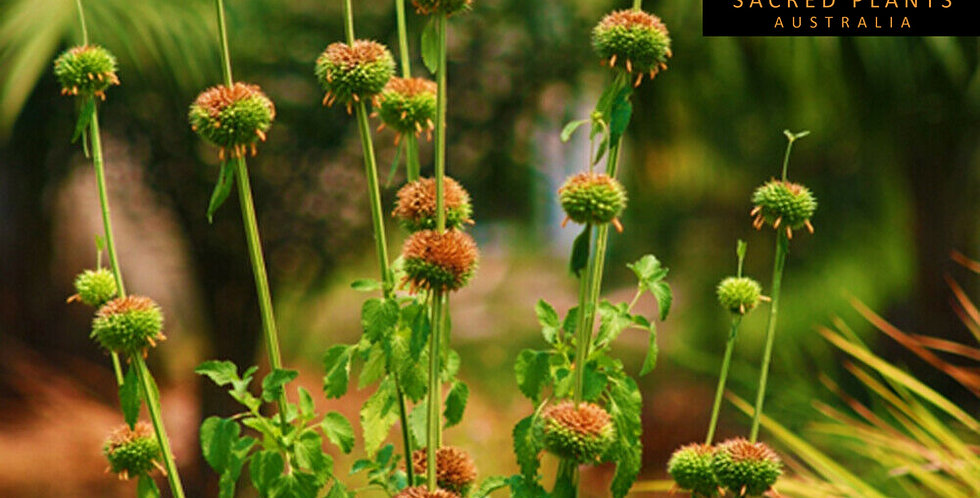 Lions Ear 10 Seeds | Leonotis nepetifolia