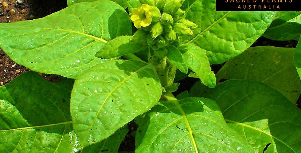Sacred Aztec Tobacco 25 Seeds | Nicotiana rustica