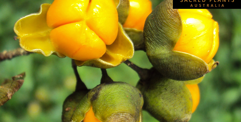 Intellect Plant 10 Seeds | Celastrus paniculatus
