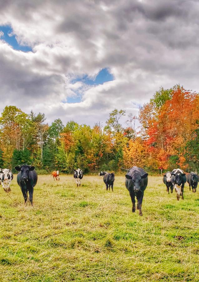 Cow Kingdom