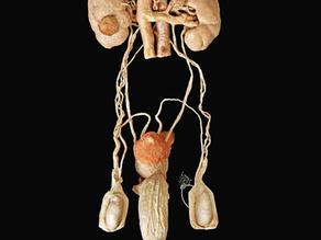 Messieurs, voici à quoi ressemble votre système urogénital !
