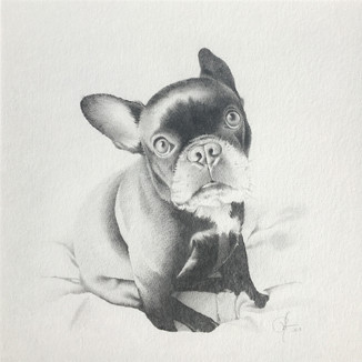Scout the French Bulldog