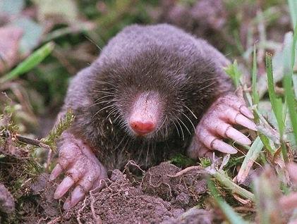 Vancouver mole control