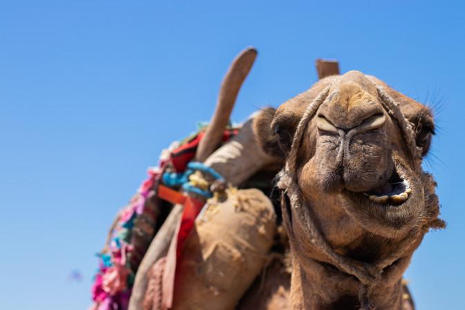 camel essaouira morocco beach