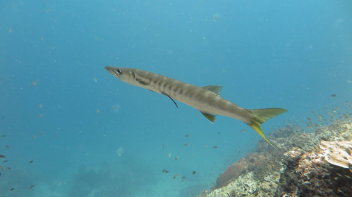 Marine Life Sail Rock Koh Phangan Diving