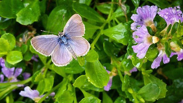 Abundant butterflies in the fan flowers