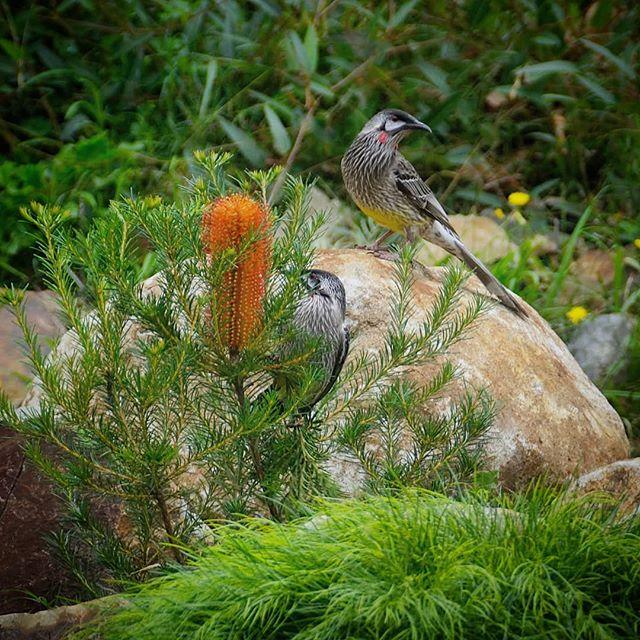 Red wattlebirds enjoying some tasty tuck