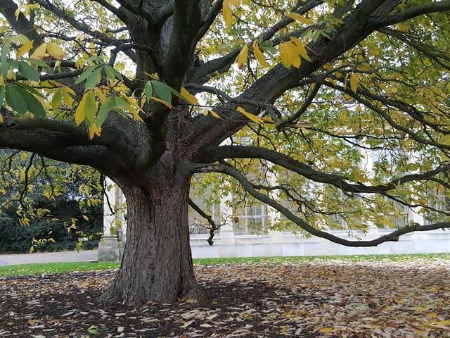 tree kew gardens.jpg