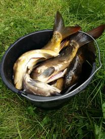 Karpfen Vogelsbergfishing