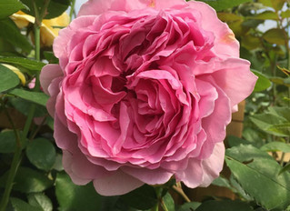 June is for Roses