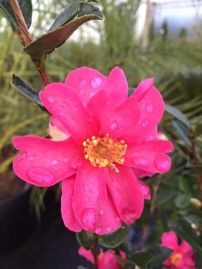 Camellia 'Cleopatra'