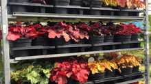 Who's for Heucheras?