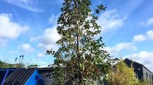 Mega Magnolia