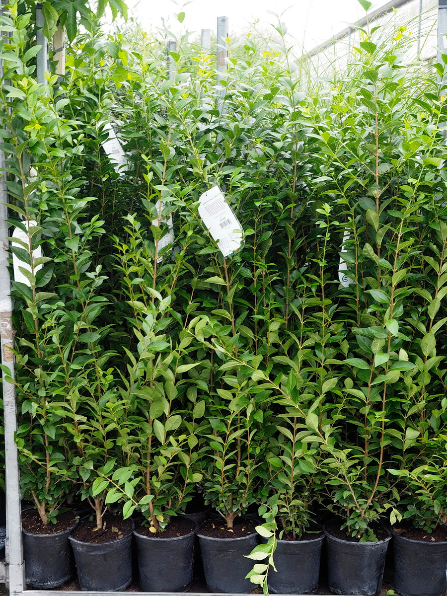 Large Privet - ideal for screening