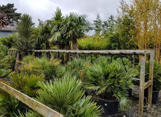 Palms for the Costa del Dorset