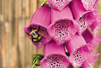 BEE AND FOXGLOVE.jpg