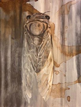 Gray Cicada