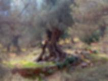 VieilOlivier300x225.jpg