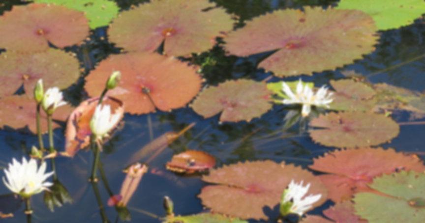 lotus field.jpg