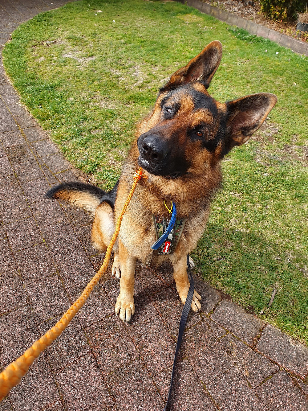 German Shepherd dog tilting head confused