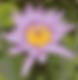 Eastland Gardens Civic Association Logo  - Stylized Pink Lotus Flower