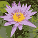 Eastland Gardens Civic Association Logo  - Stylized Pink Lotus Flower