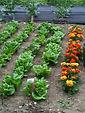 rows of lettuce at dunkeld field