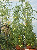 dunkeld field polytunnel with tomatoes
