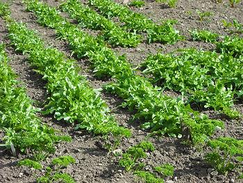 lettuce Dunkeld