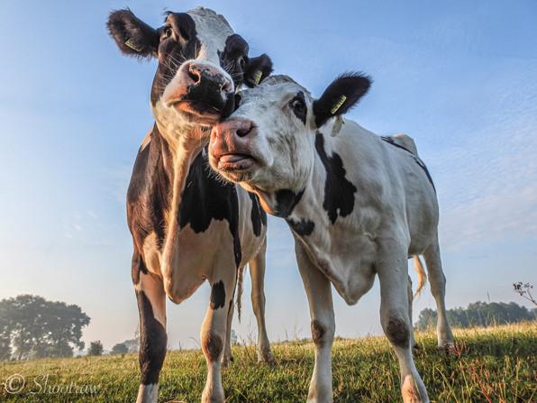 Koeienliefde