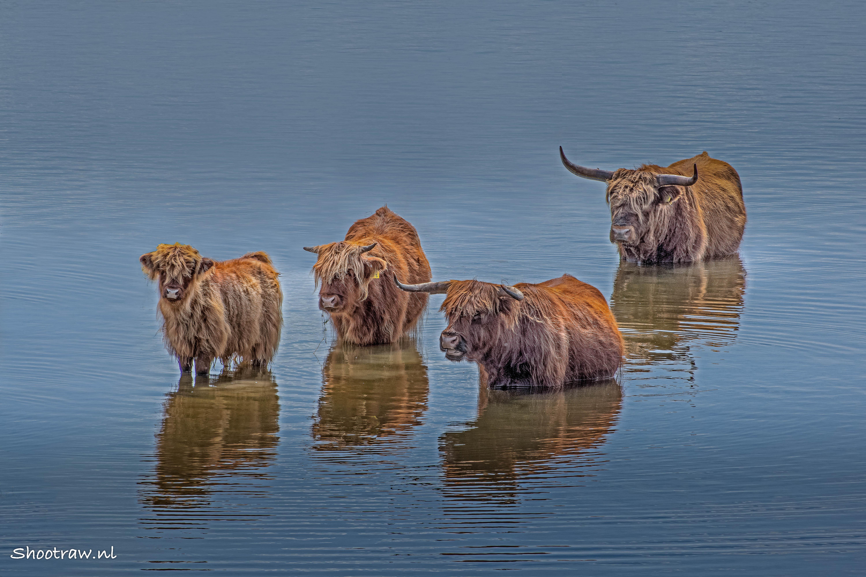 Schotse hooglanders in het water.