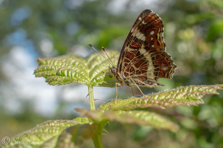 Vlinder-Landkaartje