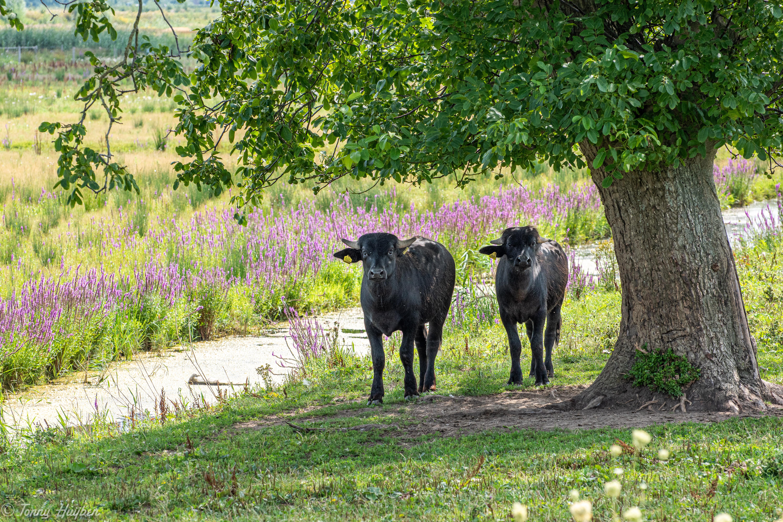 Biesbosch buffels