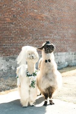 Portland_Wedding_Llamas.jpg