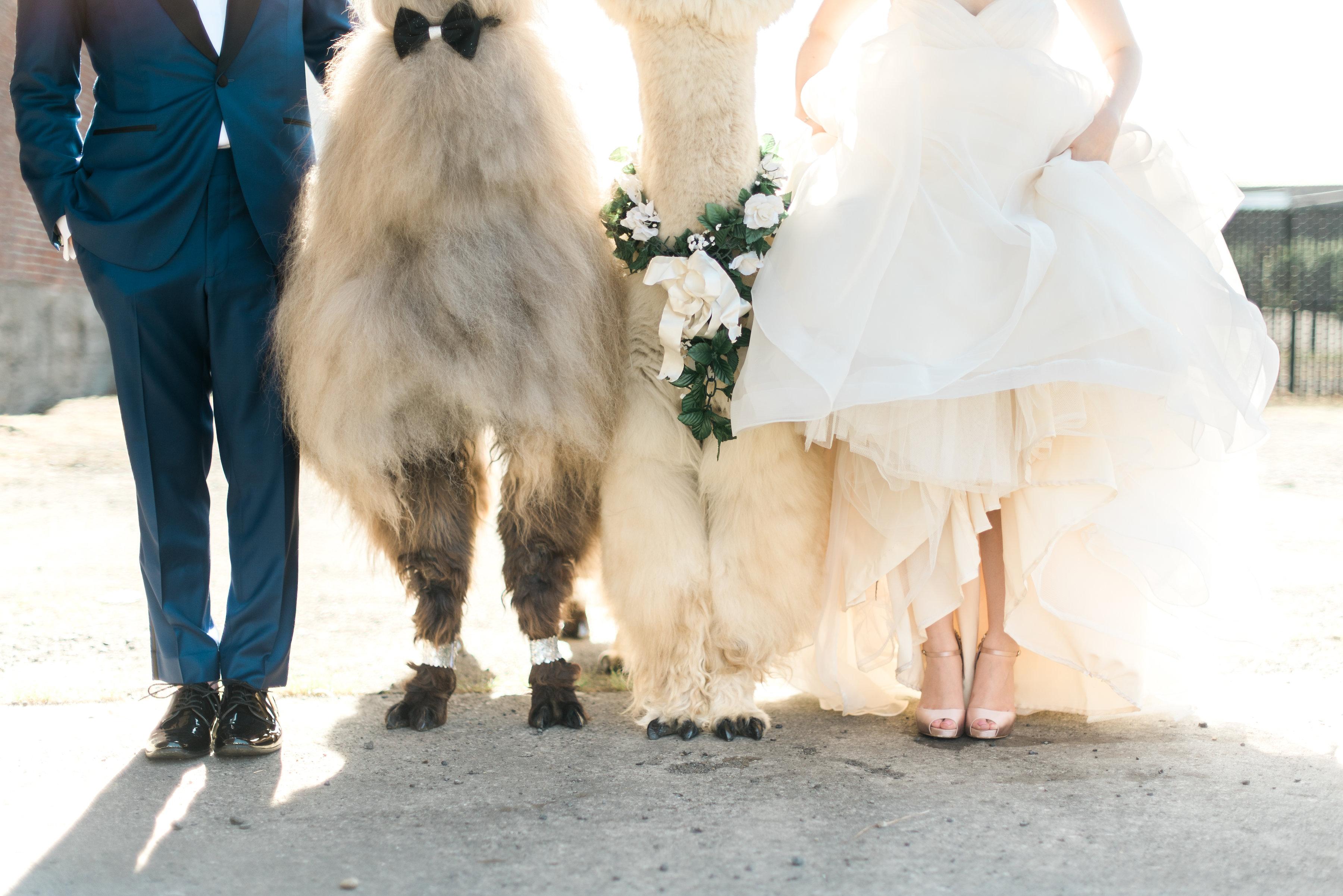 wedding_llamas_at_castaway.jpg