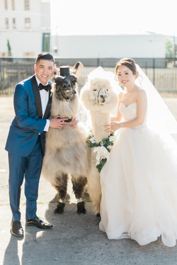 bride_groom_with_wedding_llamas_portland