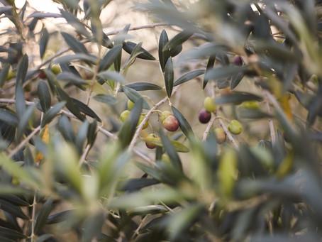 Olivas de Gramado inicia primeira colheita nesta quarta-feira, 10 de março.