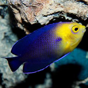 Atlantic Pygmy Fish