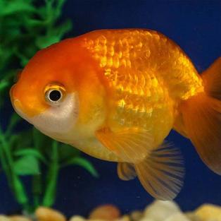 Ranchu Fish