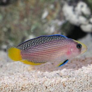 Splendid Dottyback Fish
