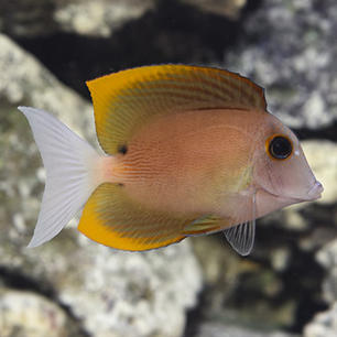 Firefin Tomini Bristletooth Tang Fish