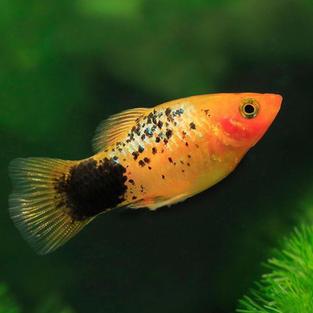 Platies Fish