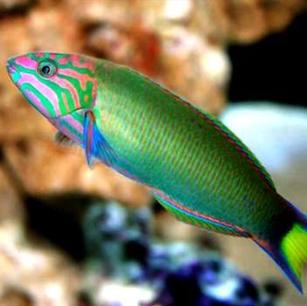Lunare Warasse Fish
