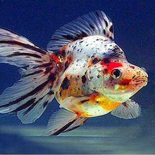 Ryukin Fish