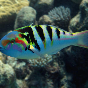 Hardwicke Wrasse Fish