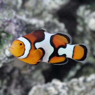 Picasso Clown Fish